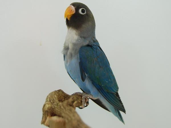 agapornis-nigrigenis-azul